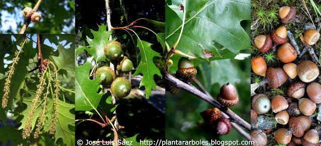 PLANTAR ÁRBOLES y arbustos: Árboles NO Autóctonos de España (Alóctonos)