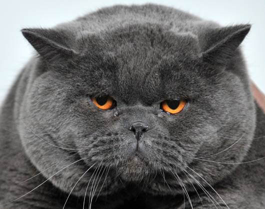 Gambar Kucing Gemuk Penelusuran Google British Shorthair Cats British Blue Cat Cats