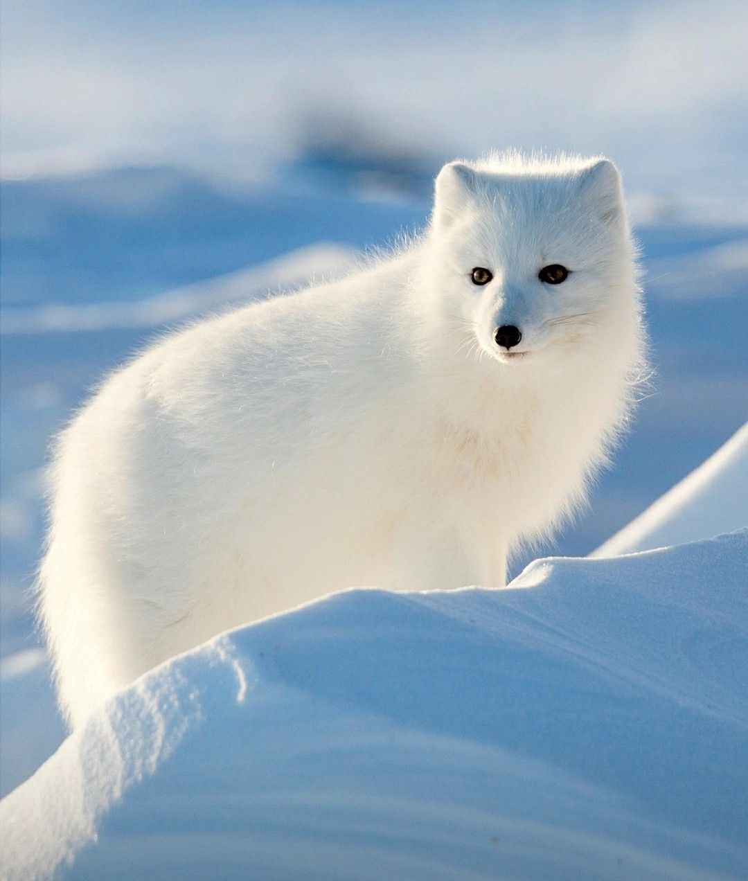 Pin By On Arctic Fox And Others Foxes
