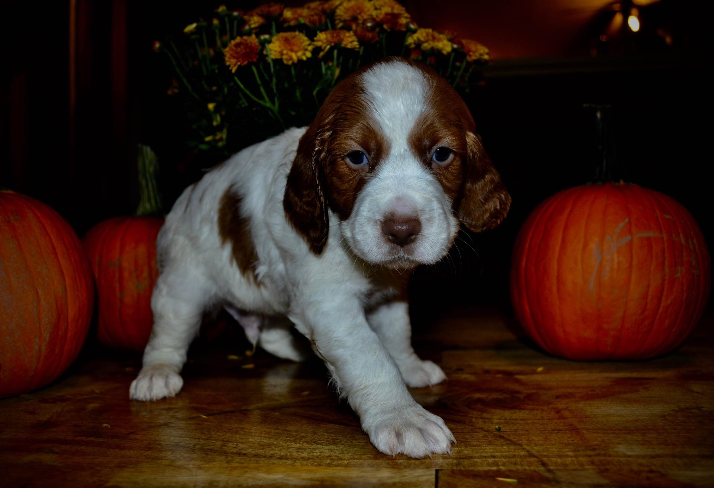Mystic Mountain Brittany's Has Brittany Puppies For Sale