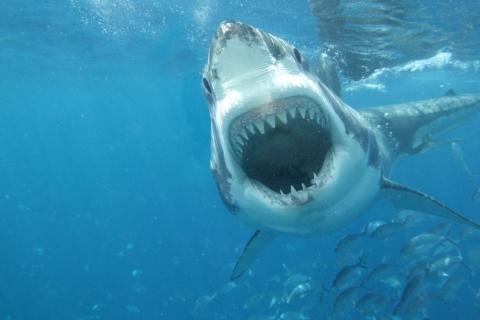 oceano predadores dentes de tubarões