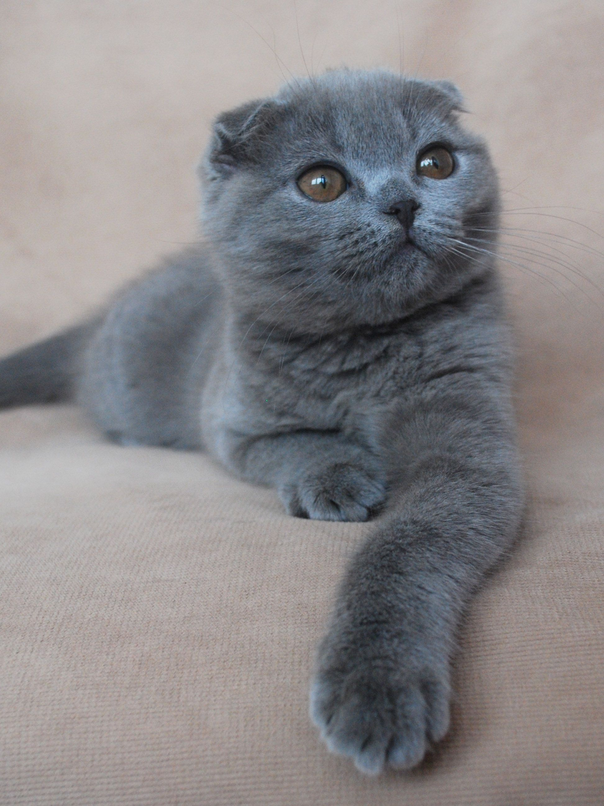 Rosie Scottish Fold Lilac Coat Cat Scottish Fold Scottish Fold Cat Kittens Scottish Fold