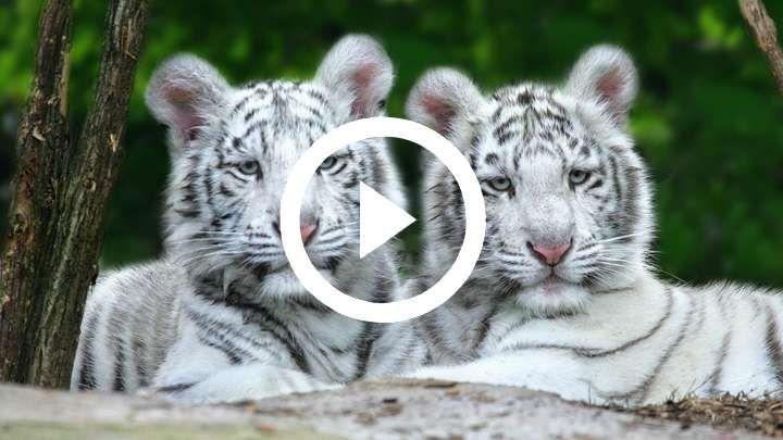 Photo vid o de tigre tous les animaux sauvages domestiques familliers insolites imaginaires et - Photo de tigre blanc a imprimer ...