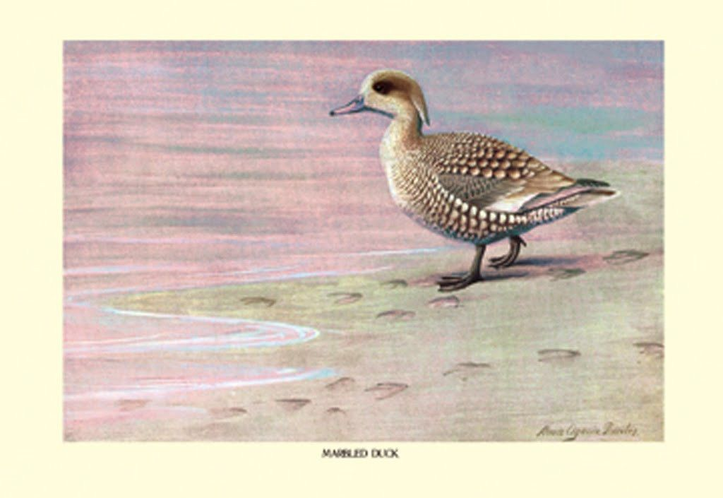 Marbled Duck, by Louis Agassil Fuertes