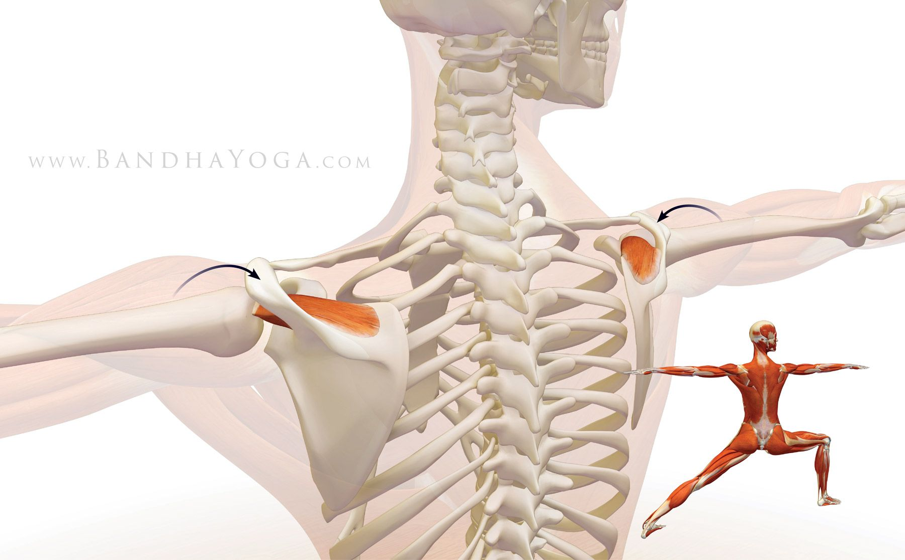 The Daily Bandha: Shoulder Biomechanics, Part III: The Supraspinatus ...