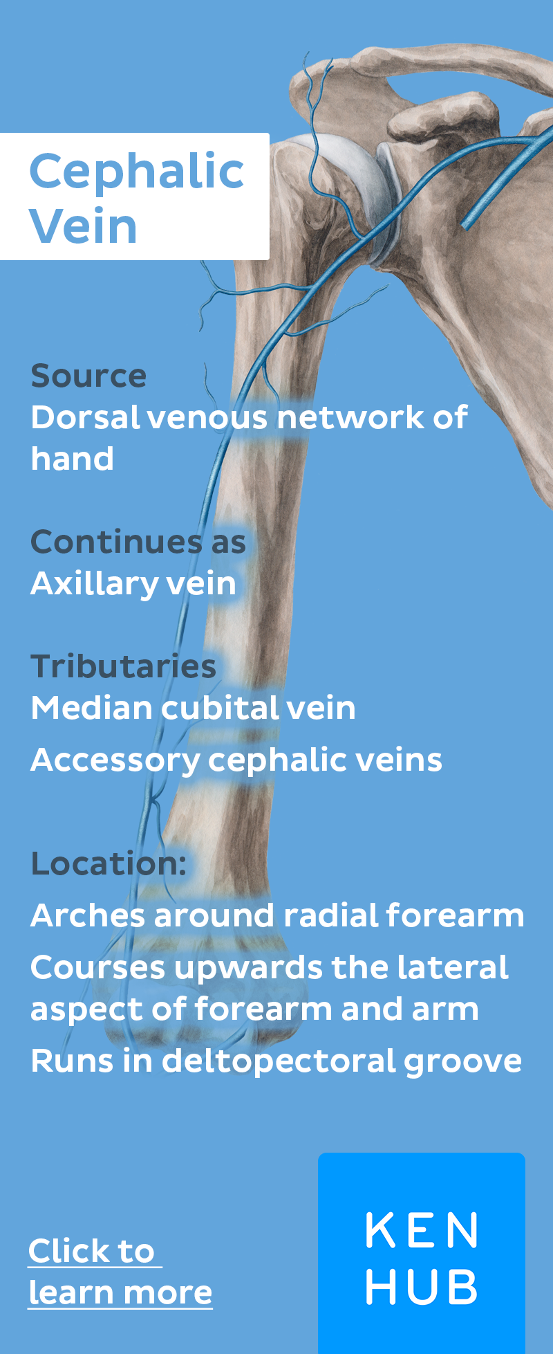 Cephalic vein | Med school | Pinterest | Anatomy, Learning and Medical