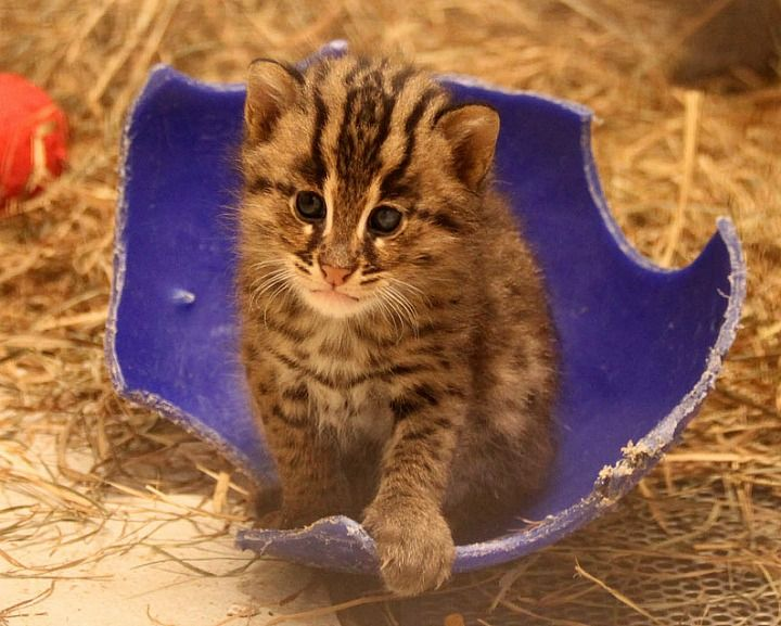 Update Fishing Cat Kittens At Smithsonian S National Zoo Cats Kittens Cute Baby Animals Scary Animals