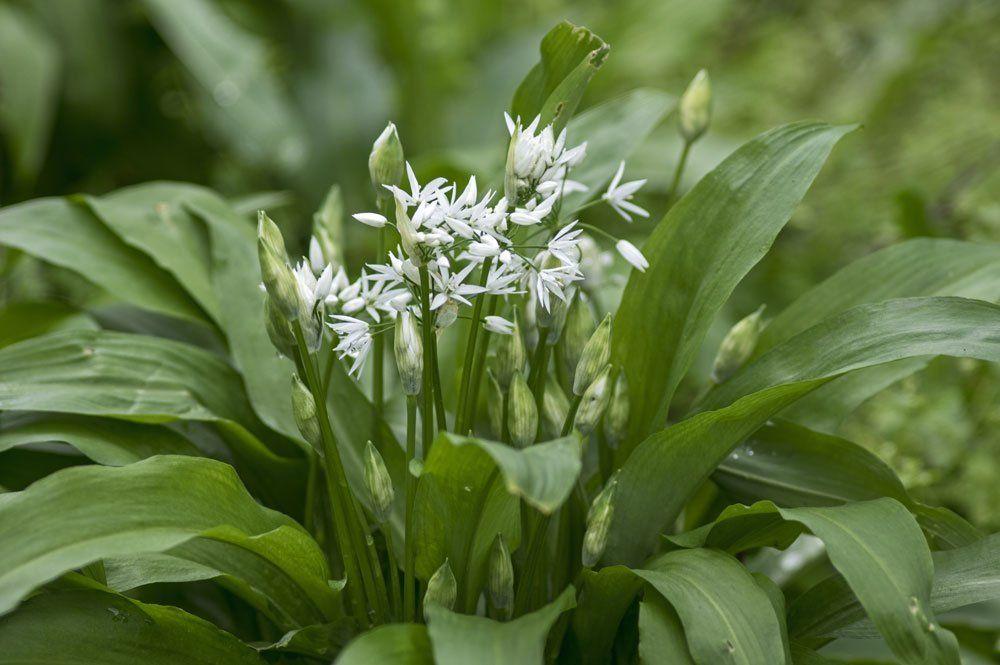 Barlauch Pflanzen Standort Pflege Kombinationsmoglichkeiten Barlauch Pflanzen Barlauch Anpflanzen Barlauch