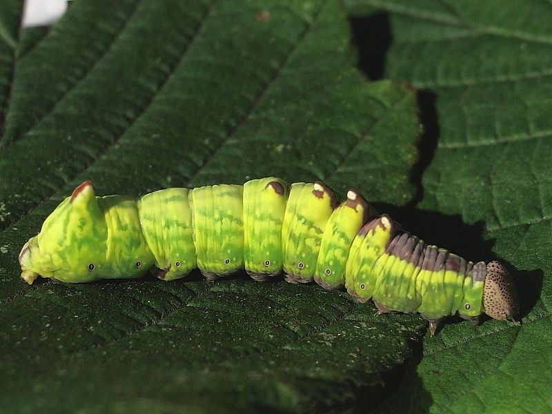 Green Spotted Caterpillar en 2020