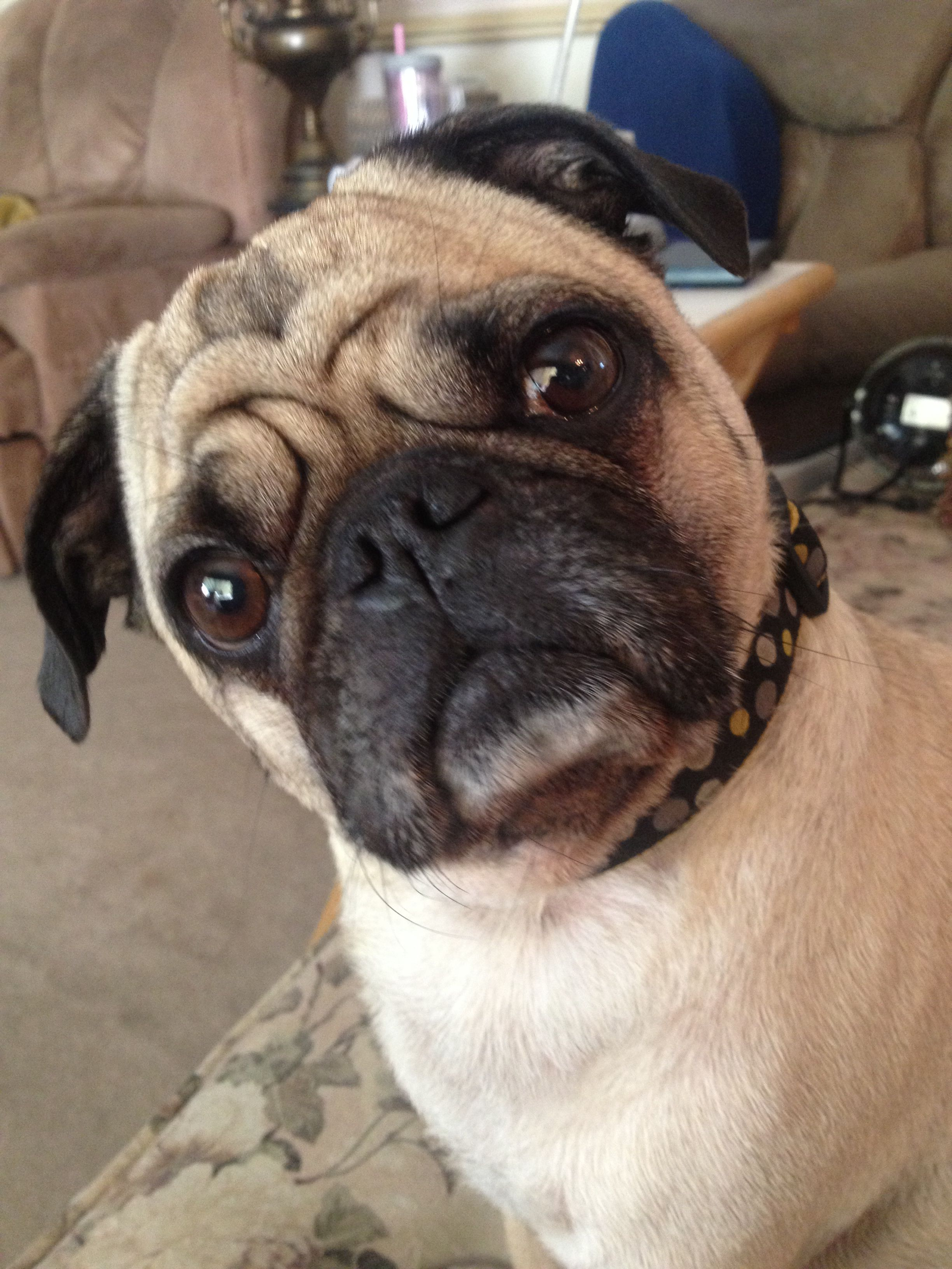 Did You Say Treat Cute Pug Pictures Pug Love Super Cute Animals