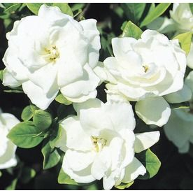 2 5 Gallon White Veitchii Gardenia Flowering Shrub L10719
