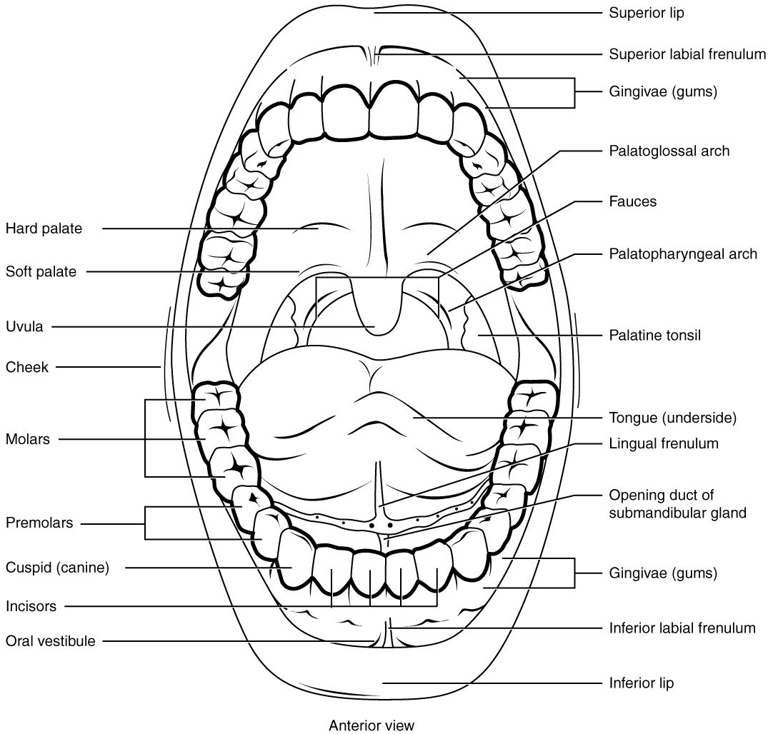 This Diagram Shows The Structure Of The Mouth The Teeth