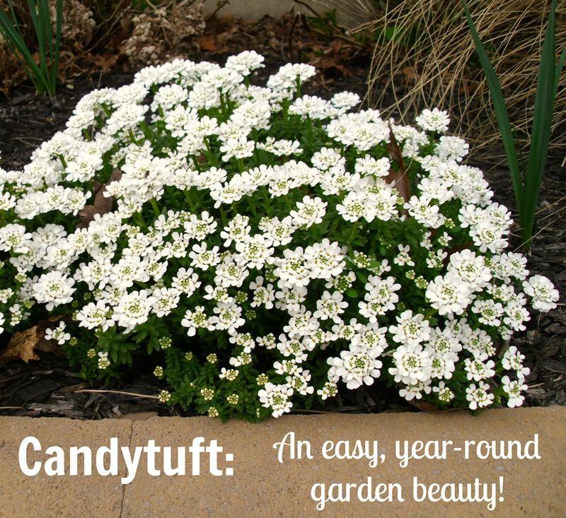 Candytuft An Easy Year Round Garden Beauty Pet Scribbles White Gardens Plants Urban Garden