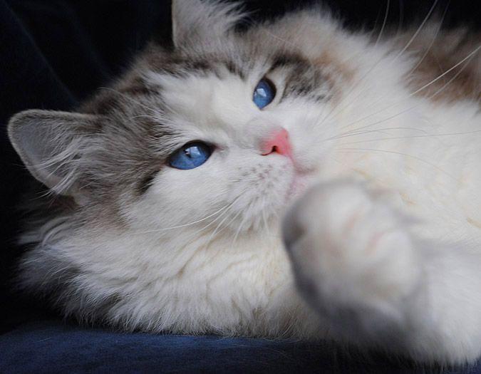 Ragdoll Cat Breeders Ragdoll Kittens For Sale In Ohio