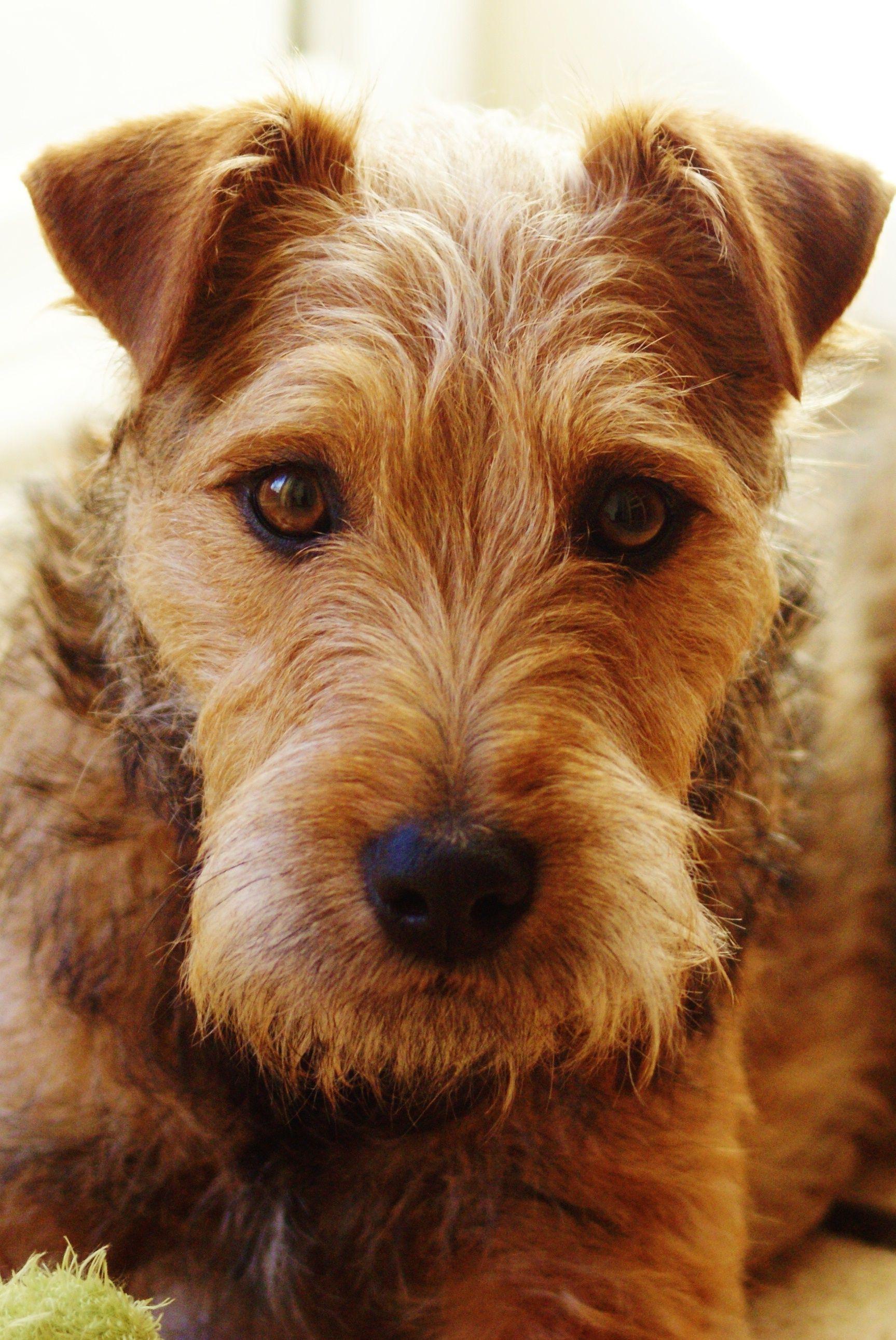 Angus Patterdale X Lakeland Terrier Www Socialmediafanatic Com