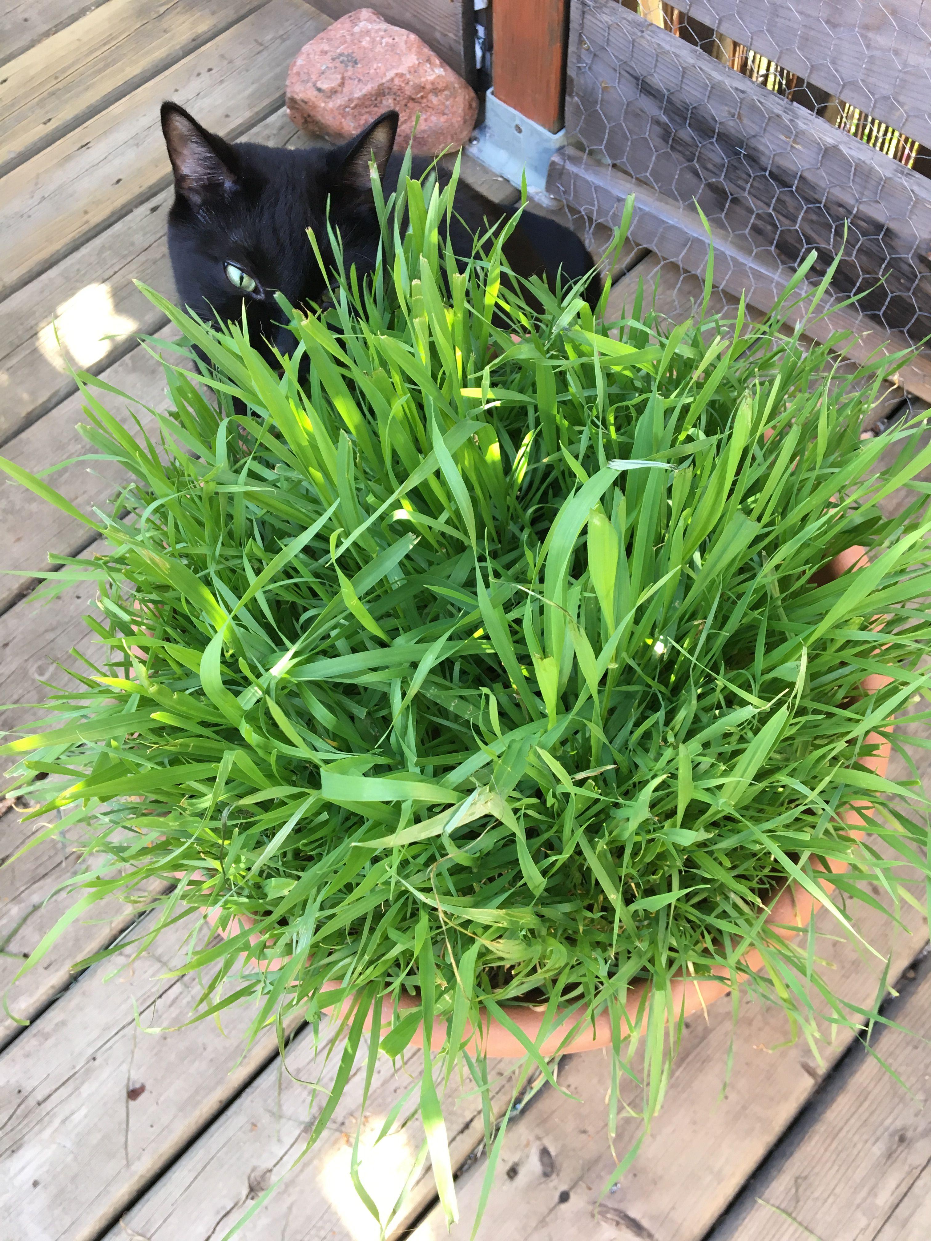 Cat Grass Cat Grass Cat Love Cats