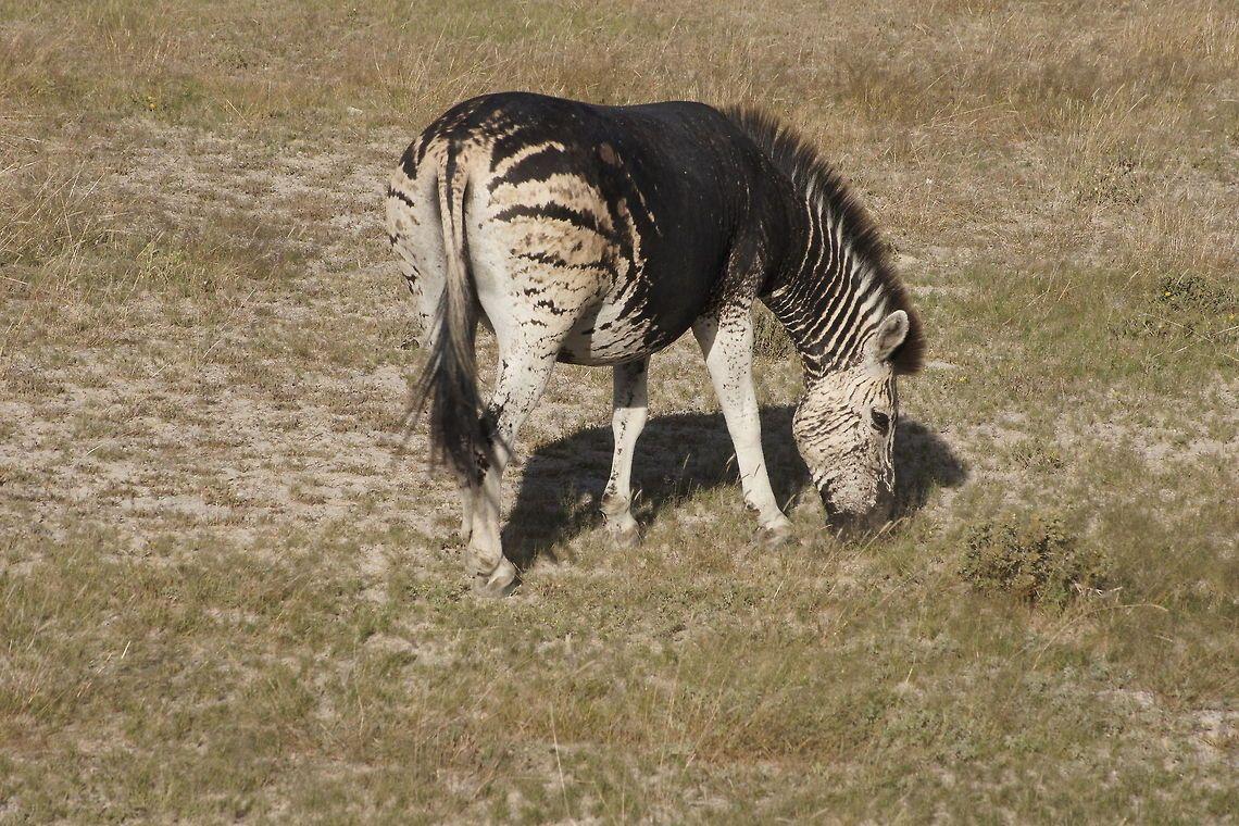 Pseudo Melanistic Plains Zebra Very Special Almost Black Zebra Melanistic Melanistic Animals Plains Zebra