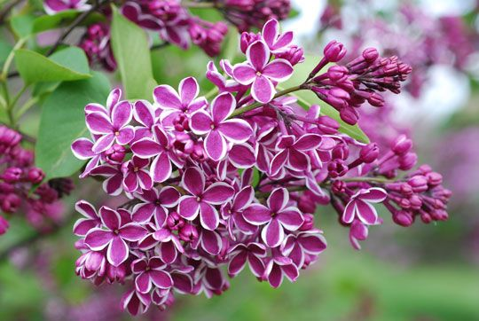 Flowers That Mean Love They Are Know To Symbolize New Found Love So It Is Popular On Fragrant Flowers Flower Pictures Lilac Flowers