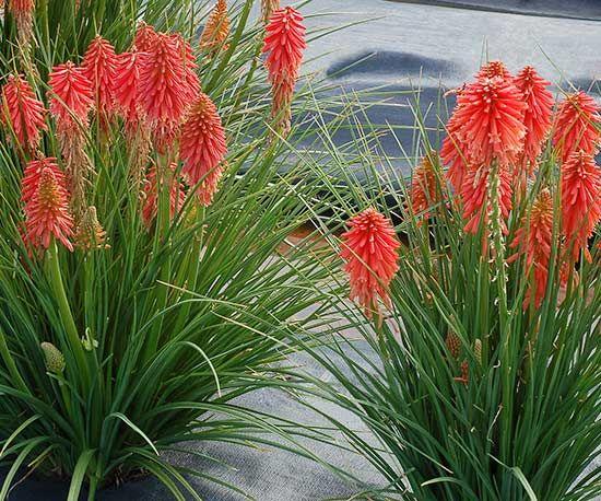 Top New Perennials For 2016 Vivid Colors Perennials And