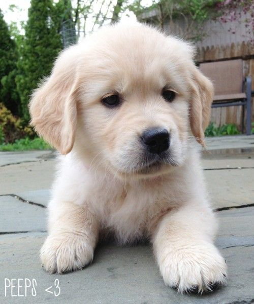 Golden Retriever Puppy Our Rexy Looked Like This When We Brought