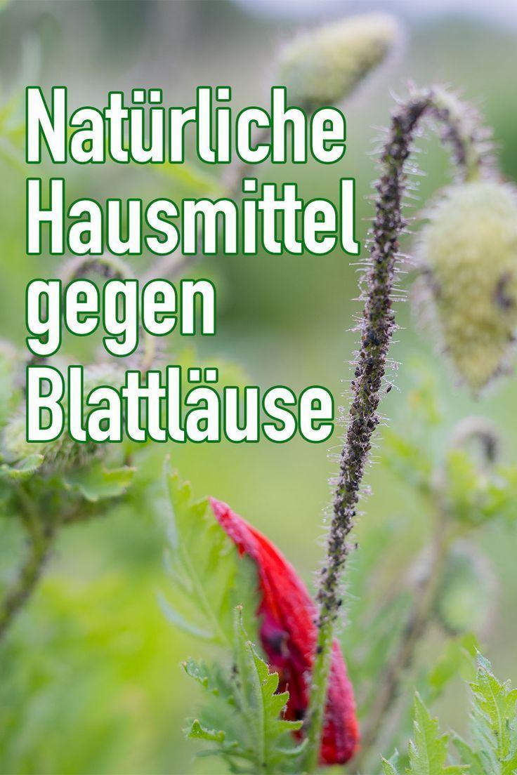 Natürliche Hausmittel gegen Blattläuse