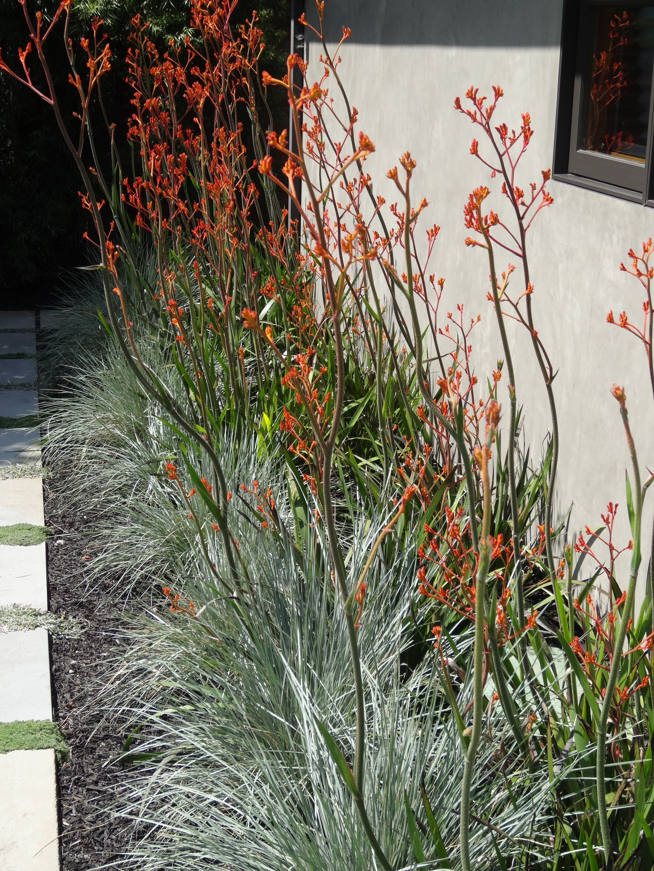 Plant Pairing Kangaroo Paw And Blue Australian Garden Design Australian Native Garden Native Garden