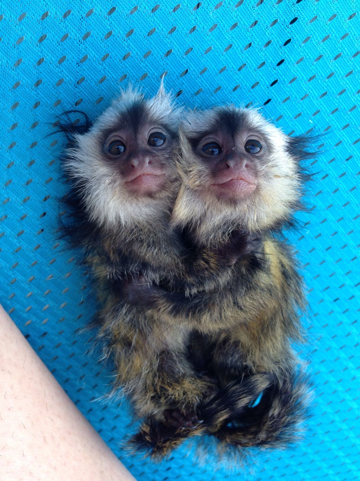Baby finger monkeys I Pygmy Marmosets Pygmy marmoset