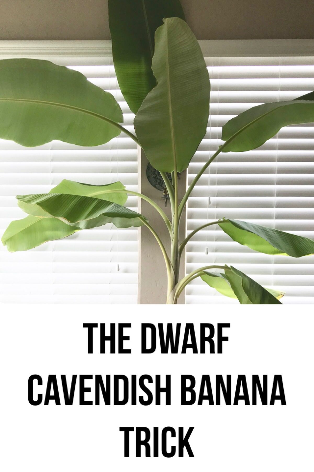 How To Care For Dwarf Cavendish Banana Plants Indoors Banana Plants Banana Plant Indoor Plant Care