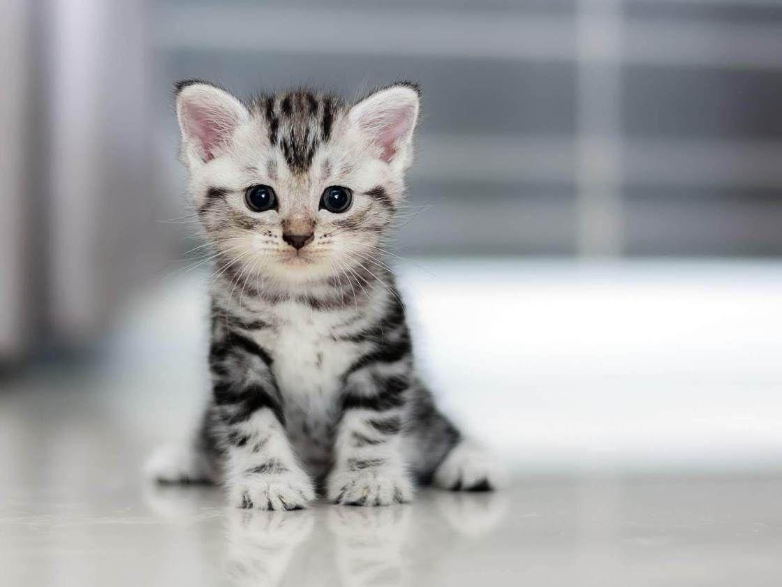 Petit Chaton Little Kitten Voyage Onirique Chats Adorables Races De Chats Chat Mignon