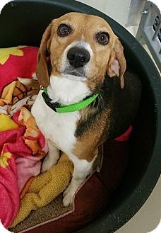 Pin By Christy Hall On Cooper Ellie Our Beagles Dogs Beagle