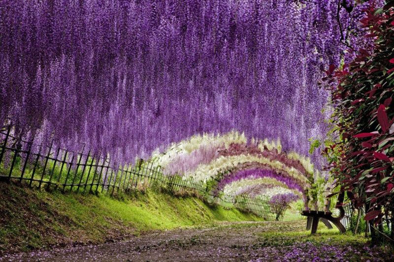A tunnel of wisteria. Kawachi Fuji Garden, located in the city of Kitakyushu to Tokyo 6h, Japan.