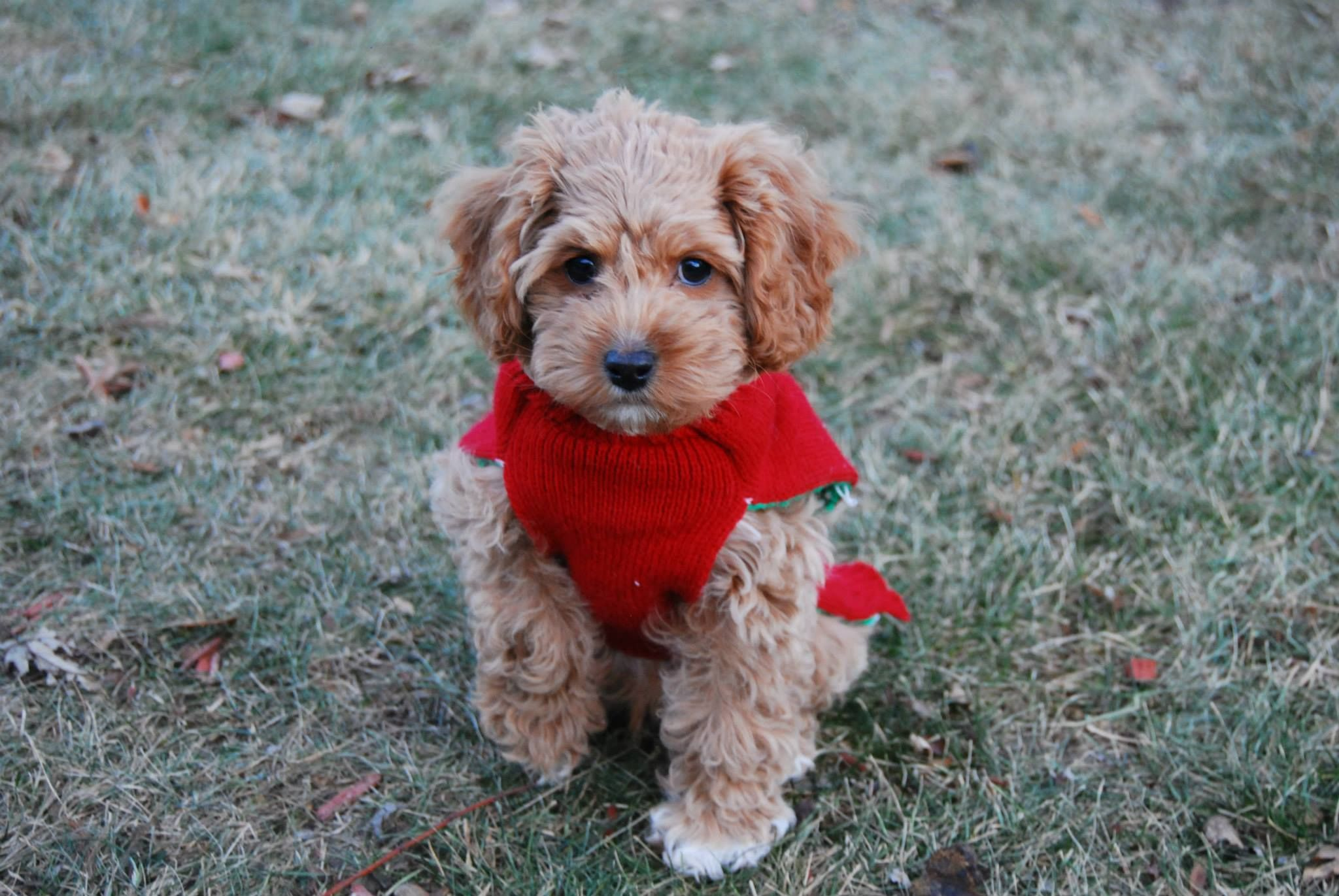 Cockapoo adorable puppy apricot cute rylee poodle