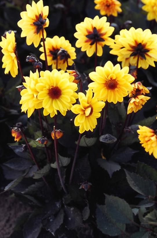 Image result for dahlia chic yellow dark foliage