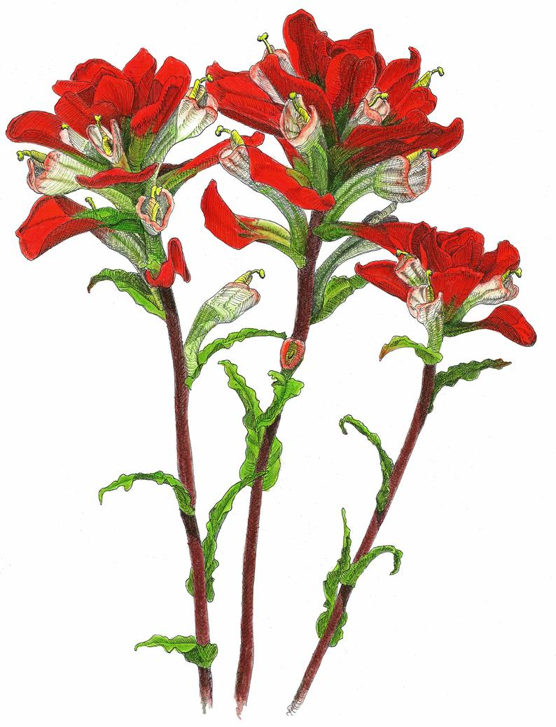 Indian Paintbrush Drawing | Free download best Indian ...