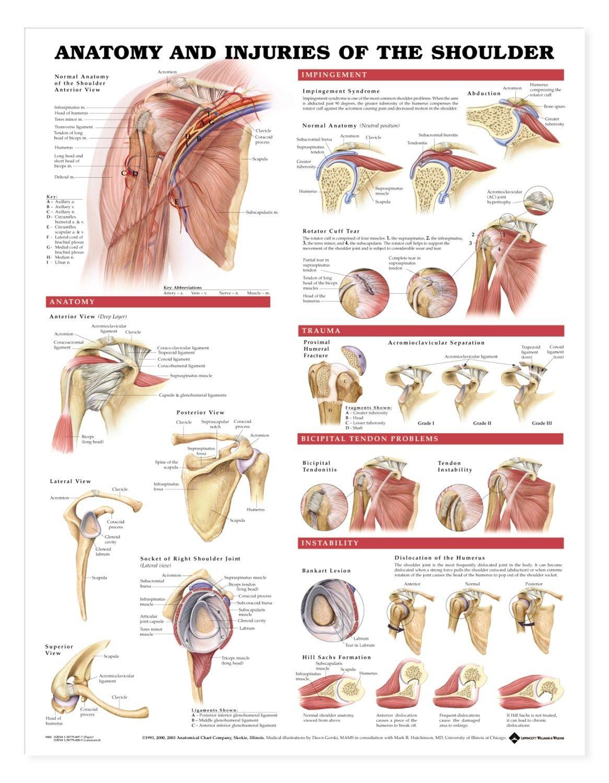 Schultern   Muskeln   Verletzungen   health info   Pinterest ...