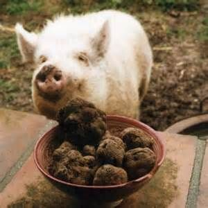 Pigs Searching For Truffles Pig Truffles Image