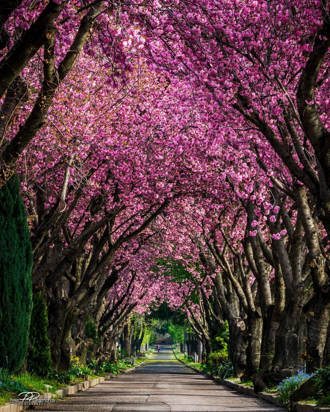 Cherry Blossoms Pecs Hungary By Peter Pazmandy Peterpazmandy On Instagram Cr Pecs Hungary Landscape Instagram