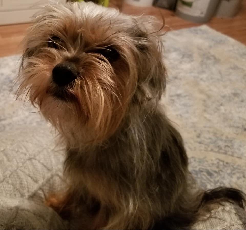 Adopt Lucy Van Pelt On Lucy Van Pelt Kittens And Puppies Terrier Mix