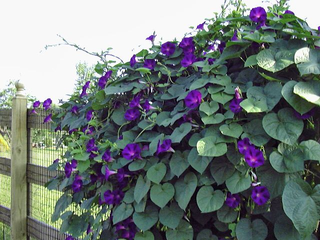 A Maryland Country Garden Morning Glory Vine Garden Vines Summer Flowers Garden