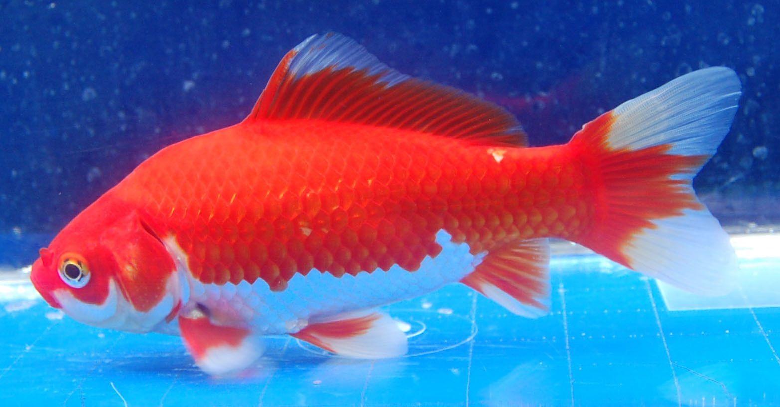 Goldfish Sarrasa Comet