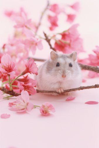 Blossoms Around Hamster Stock Photo 3004-002045