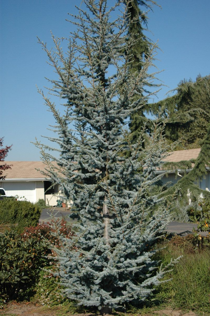 Blue Cedar Tree Varieties ~ Cedrus atlantica glauca blue atlas cedar coniferous tree