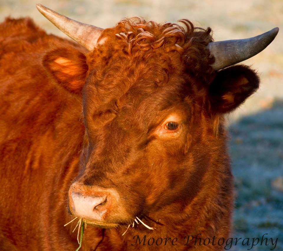 """Our Dexter bull """"Kale""""....Just love the frost in his curls"""