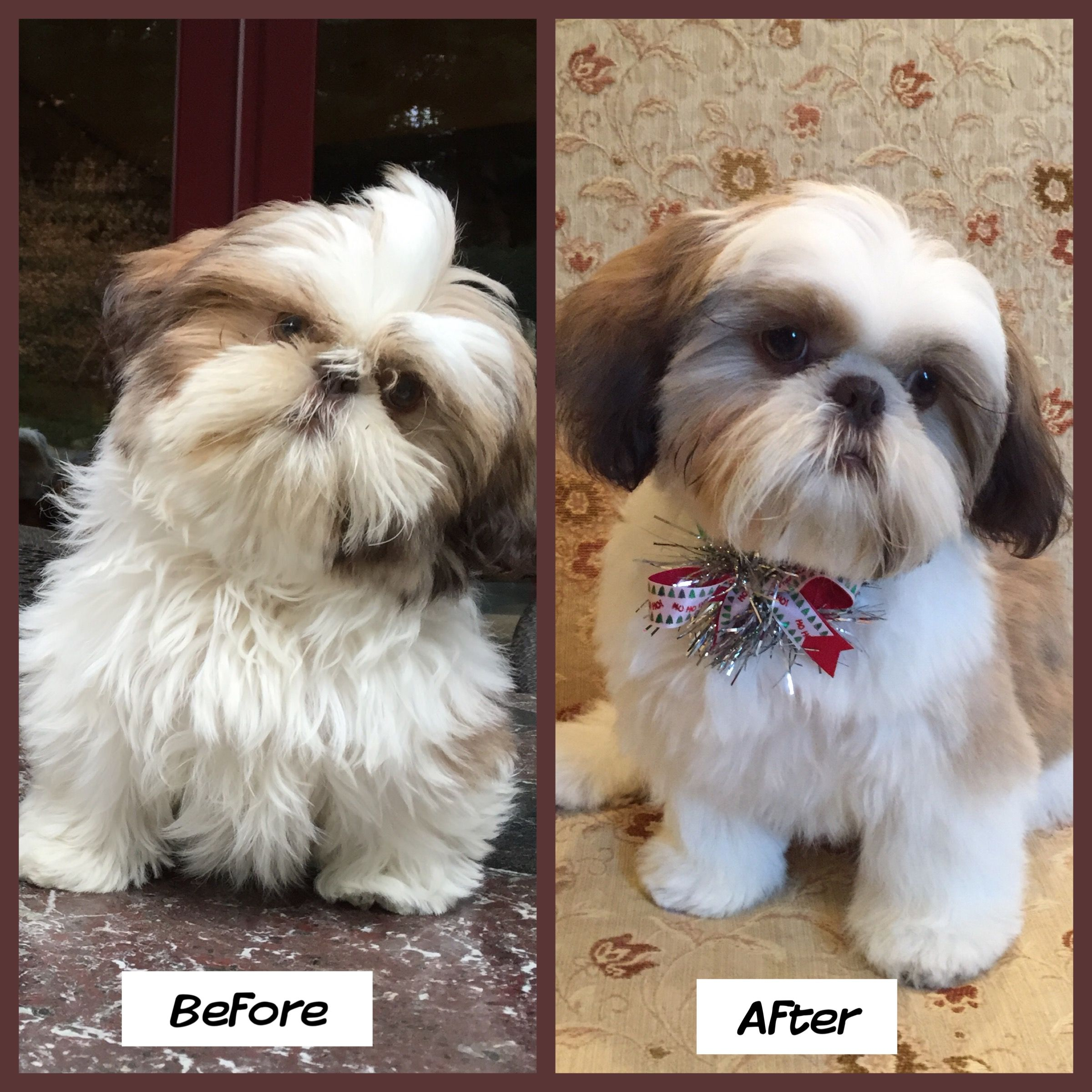 Gidget 6months Old Before And After Her First Trip To The Groomer Puppy Grooming Shih Tzu Puppy Shih Tzu Puppy Haircuts