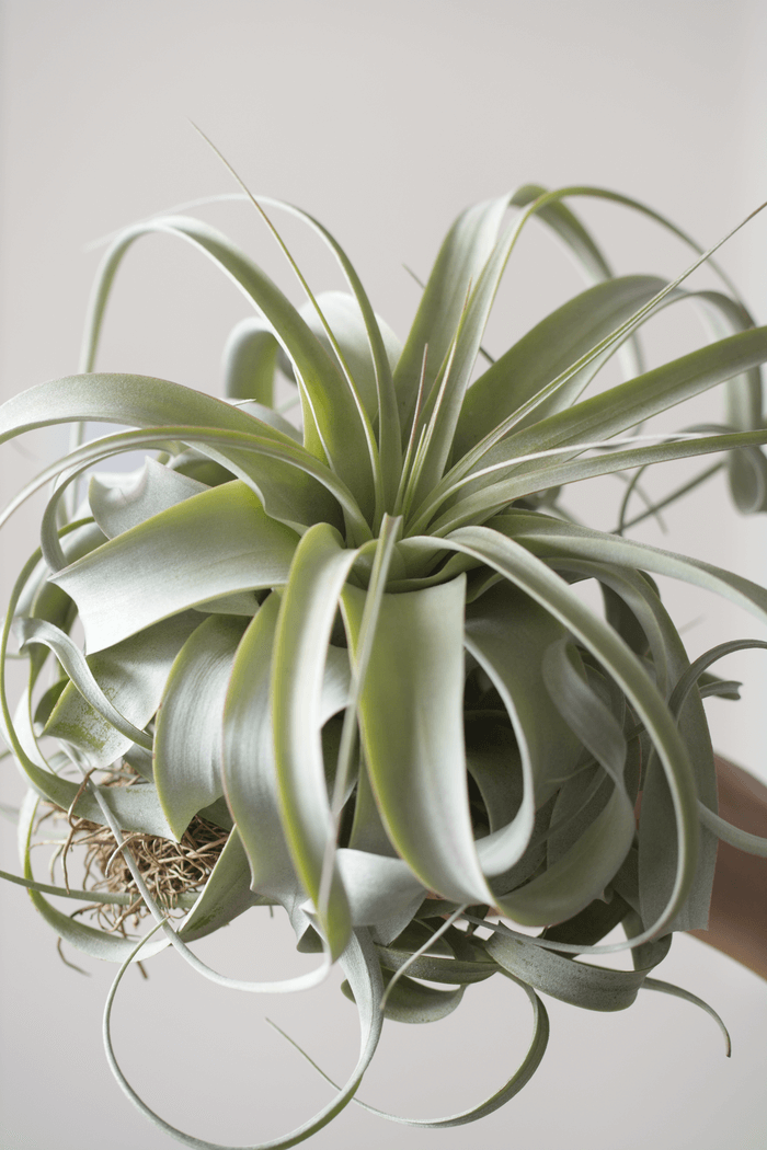 Xerographica XL Air plants, Air plants care, Plants