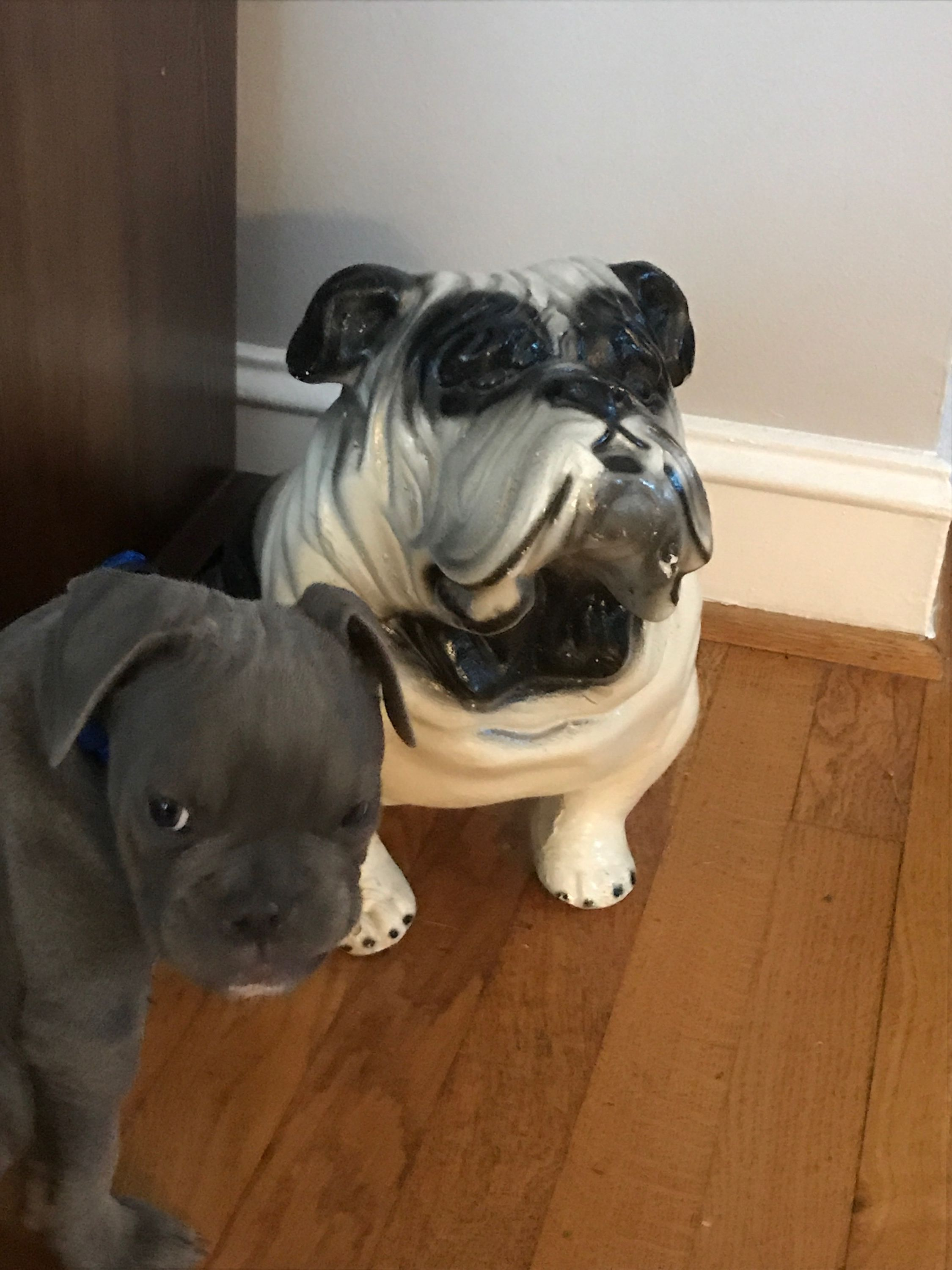 Our Blue English Bulldog Puppy! Which ones real? Blue