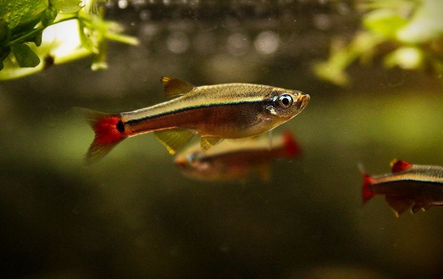 White Cloud Mountain Minnow Tanichthys Albonubes White Cloud Minnow Clouds Betta Fish