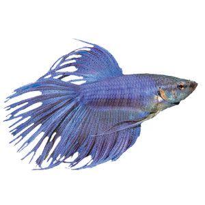 Crowntail Betta Fish Live Pet Petsmart With Images Pet Fish Betta Betta Fish