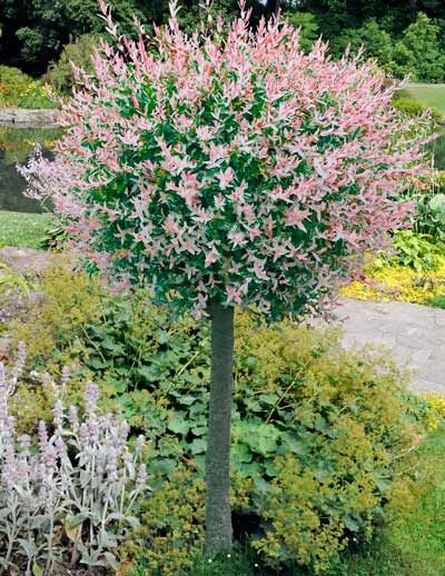 Hakuro Nishiki Willow Prairie Rose Greenhouse Nursery Dappled Willow Tree Dwarf Trees For Landscaping Landscaping Trees