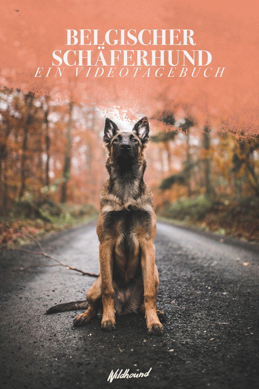 Belgischer Schaferhund Belgian Malinois Hunde Belgischer